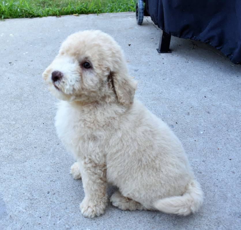 Newfypoo Zoo Glossary  - NEWFOUNDLAND/POODLE MIX PUPPIES FOR