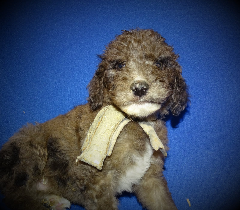 Our Males - NEWFOUNDLAND/POODLE MIX PUPPIES FOR SALE IN MICHIGAN